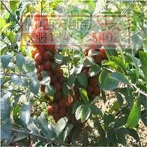山西钙果苗 钙果苗品种 钙果苗