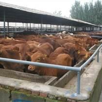 安徽最新肉牛,种牛价格