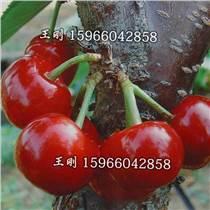 櫻桃苗價格 山東櫻桃苗價格 櫻桃苗質優量大