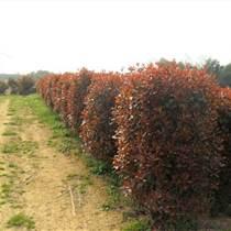 綠化工程灌木、紅葉石楠球、茶花