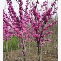 园艺绿化苗木宫粉紫荆、巨紫荆树