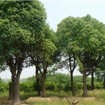 园林绿化乔木、广玉兰、二乔玉兰
