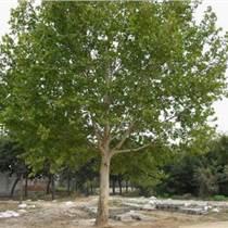 园艺绿化苗木法桐、法国梧桐棕榈