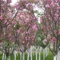園林綠化喬木、櫻花晚櫻早櫻