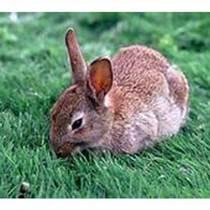 比利時種兔價格