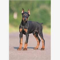 湖南杜宾犬价格,邵阳杜宾幼犬,湖南杜宾驯养基地 鲁梁犬业 3个月杜宾多少钱,哪里有卖纯种杜宾犬