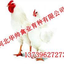 京粉二号价格,京粉二号批发,华帅青年鸡