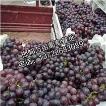 邯鄲永年萬畝葡萄基地批發葡萄
