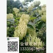 亳州供應優質金銀花種苗