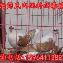 安徽觀賞鴿多少錢一對