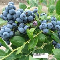出售樹莓苗、黑加侖苗