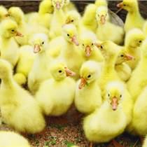 鵝苗孵化場出售皖西白鵝鵝苗