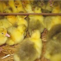 鵝苗孵化場大量批發四點花鵝苗,質量好、純度高
