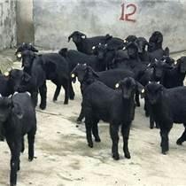 海南黑山羊,永兴雍羊基地建成