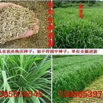 黑麥草種子多少錢一斤