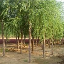 7公分垂柳 7公分柳樹 2.8米裸根定桿 樹桿直 一級樹 濟寧貨源