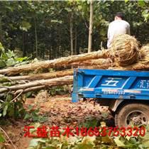 法桐報價10公分11公分12公分法桐樹價格