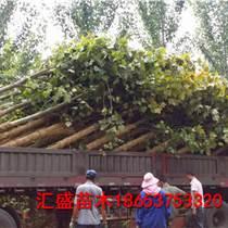 16公分 17公分法桐苗木價格