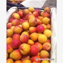 供應豐園紅杏,甜核杏,45以上豐園紅杏產地上市價格