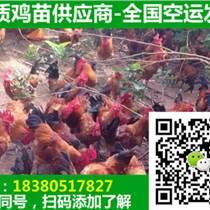 重庆万州区笨鸡苗销售,笨鸡苗繁育