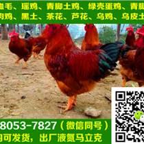 重庆江津市肉鸡苗批发,肉鸡苗批发基地