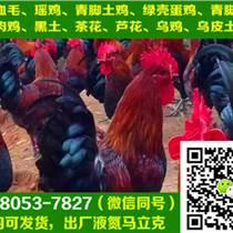 陜西西安土雞苗銷售,土雞苗孵化
