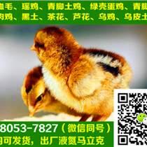 重庆梁平县肉鸡苗出售,肉鸡苗散养