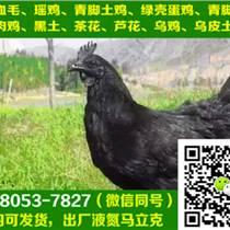 重庆酉阳县黑羽土鸡苗行情,黑羽土鸡苗养殖