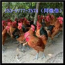 雅安市雞苗多少錢一只
