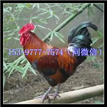 西安土雞苗多少錢一只下蛋