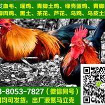 重庆江津市优质土鸡苗销售,优质土鸡苗图片
