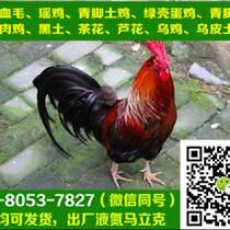 四川華鎣黑瑤雞苗孵化基地