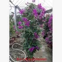 三角梅盆栽 重瓣花苗 三角梅盆景花 攀援植物 批發三角梅