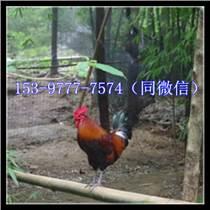 米易雞苗批發出售禽類