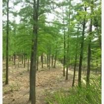 供应兄弟苗圃低价供应2----12公分精品池杉