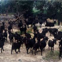 黑山羊养殖场