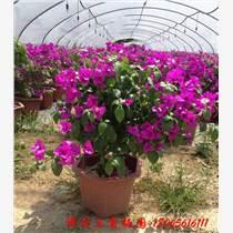 產地直銷 三角梅盆栽 三角梅花苗盆栽 當年開花 室內盆栽花卉