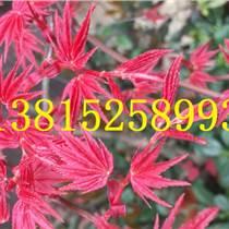蘇州庭院景觀設計、鴻運果樹樁、綠化公司、景觀樹廠家、苗木批發,蘇州造型瓜子黃楊樹
