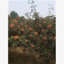韩城市俗称'小北京'狮子头大颗粒的大红袍花椒苗哪里有批发价格