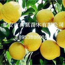 黄桃树苗批发供应地径1公分黄桃树苗价格发布