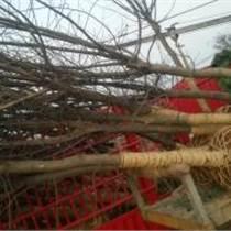 安徽榉树供应,山东榉树批发,福建榉树销售