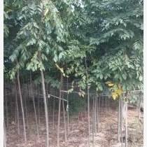 低价供应2---12公分精品黄山栾树