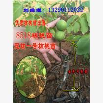 大型核桃苗培育企業出售高產薄皮核桃樹苗冠核一號!