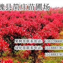 邯郸红叶石楠,邯郸红叶石楠价格,魏县简庄苗圃场