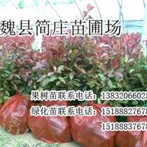 邯郸红叶石楠,邯郸红叶石楠厂家,魏县简庄苗圃场