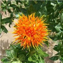 红花种苗批发量大从优质量保证