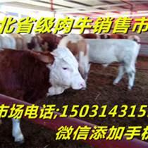 河北肉牛集市天天出售西門塔爾肉牛犢