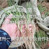 亳州知母種子價格知母籽苗批發
