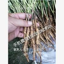 亳州牡丹皮种子种苗市场批发价格