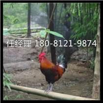 南川區雞苗好多錢一只蘆花雞
